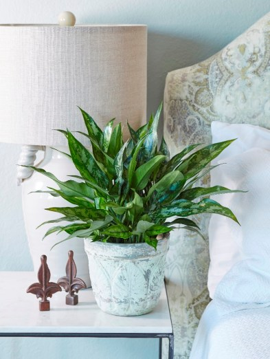 Image result for Image result for Chinese Evergreen houseplant