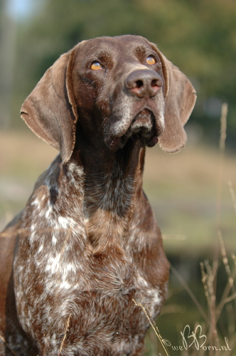 Image result for shorthaired pointer images