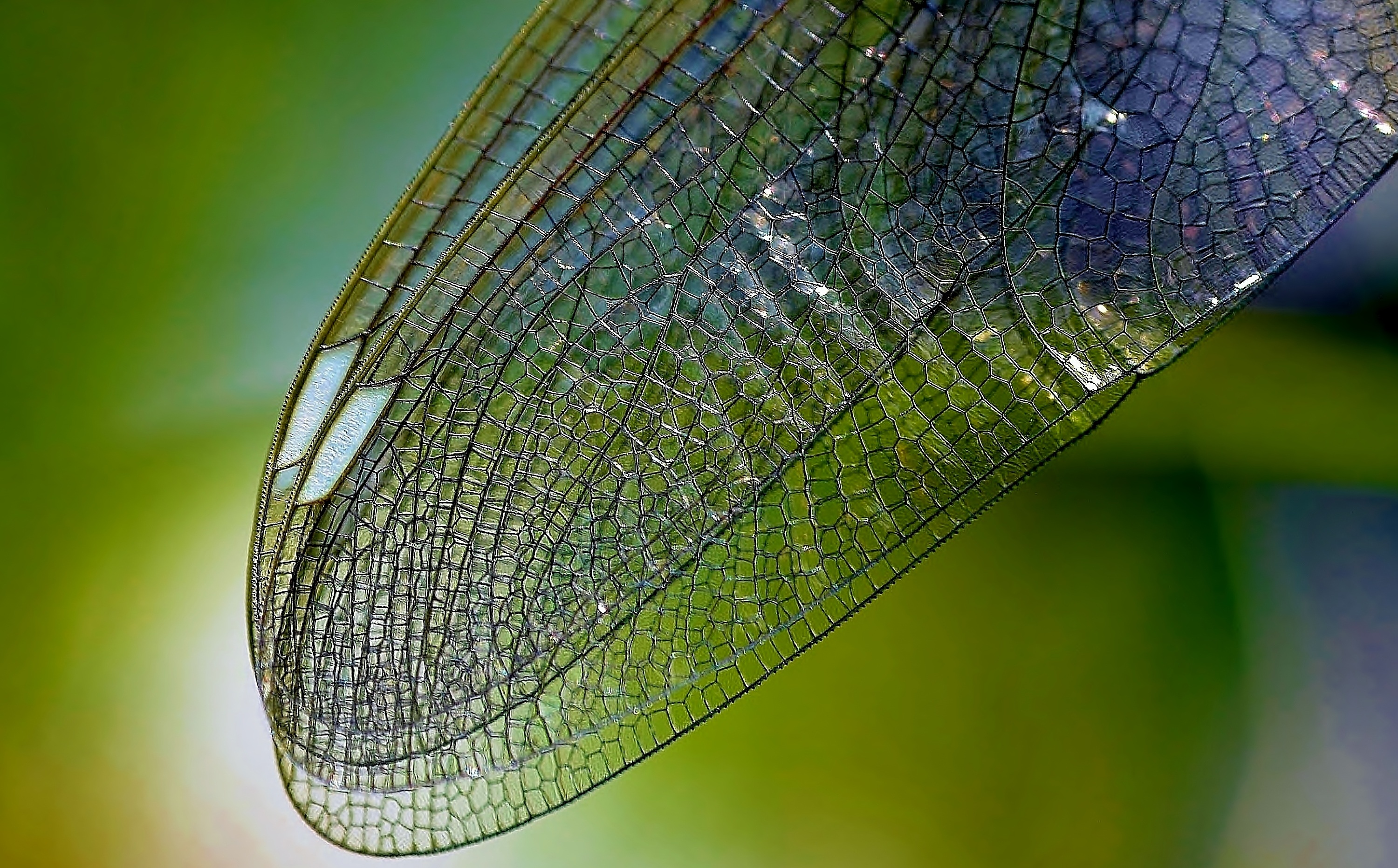 Free Stock Photo Of Close Dragonfly Wing Insect