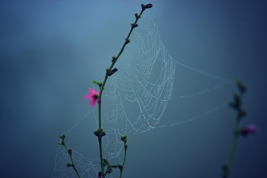 Spider Web on Pink Multi Petaled Flower
