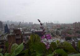 Flowers in the rain, New York. Photo Rachel Chandler