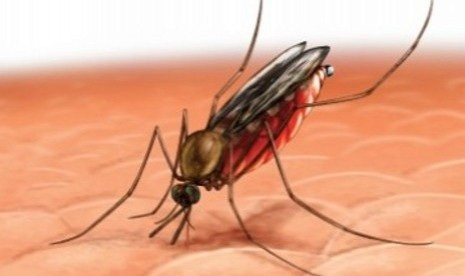 (Illustrasi) Nyamuk Anophles, penular Malaria