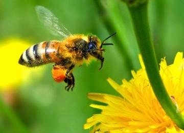 Subhanallah, Inilah Mukjizat Lebah Madu