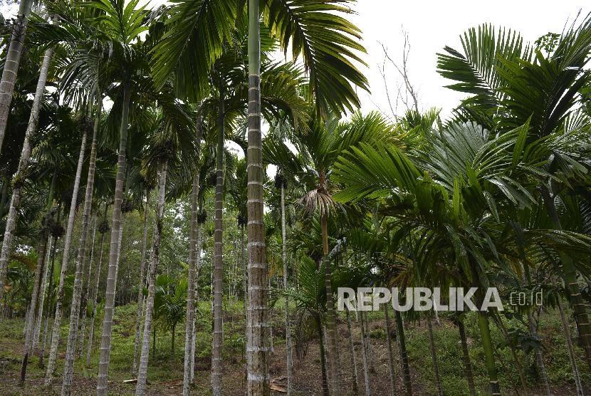 Ilustrasi pohon pinang.