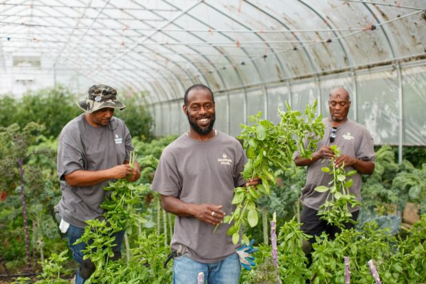 Three men pick basil in a Growing Home greenhouse.