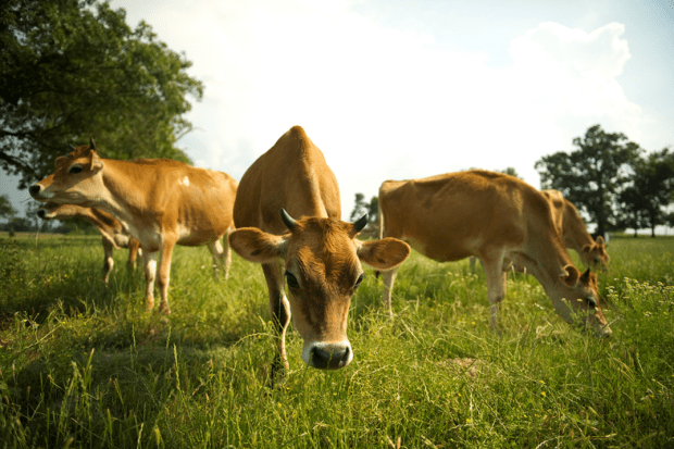 Brown cows look inquisitively at the camera while on pasture