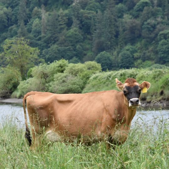 A cow stands in the pasture looking at the camera.