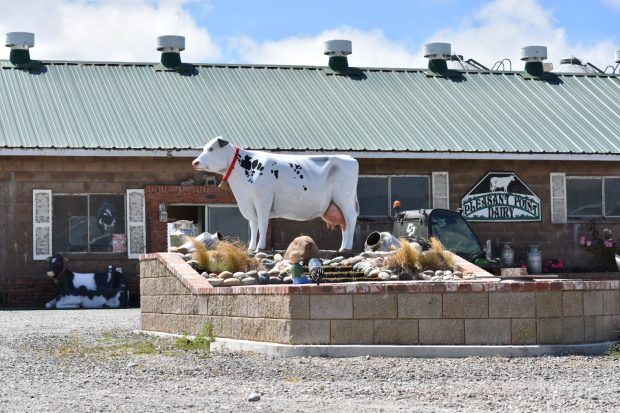 The cow statue Tom Ghidinelli put up in honor of his father.