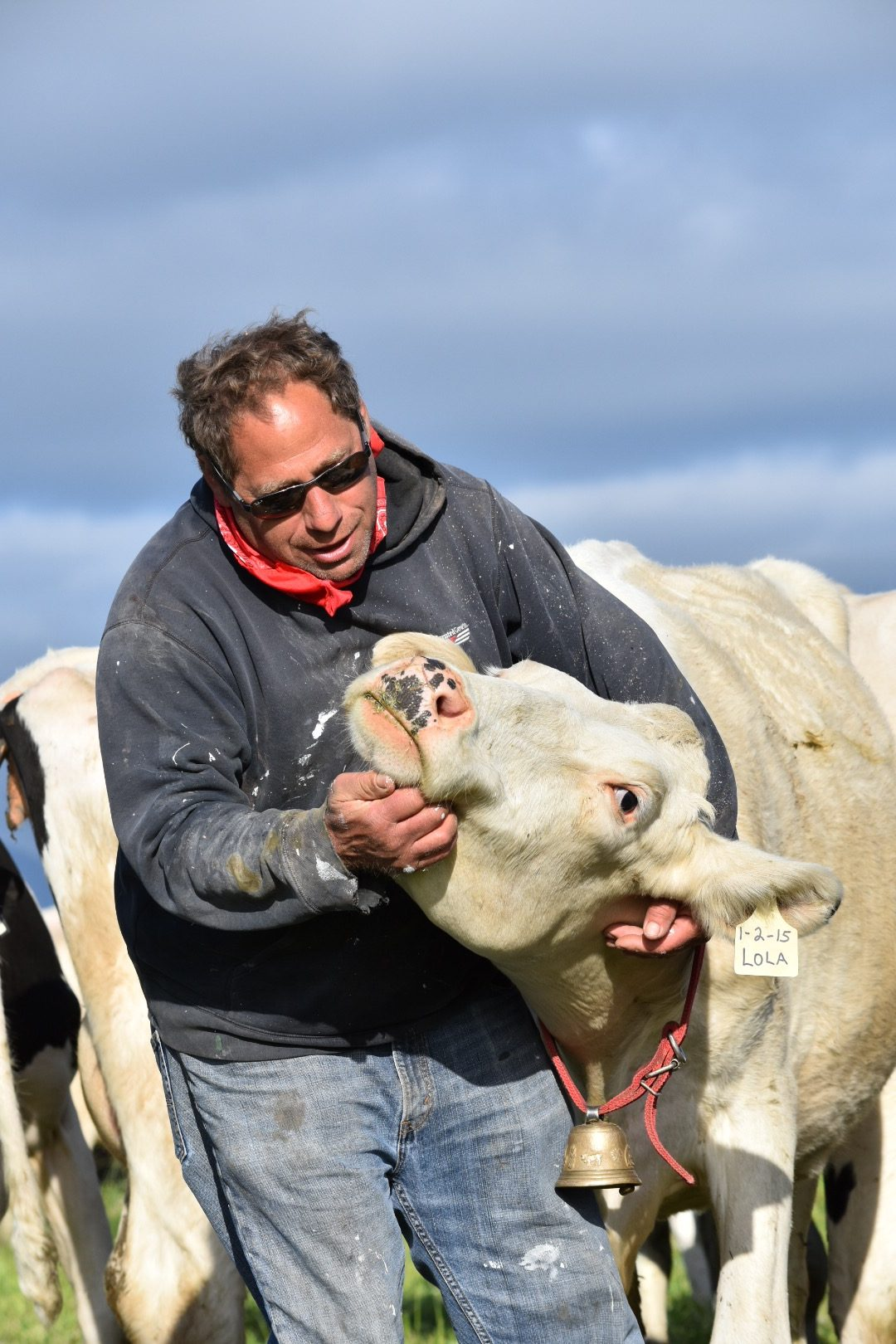 Tom Ghidinelli scratches a cow under the chin.