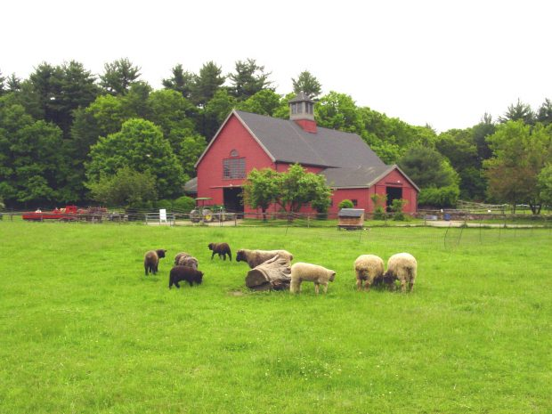 Black sheep and white sheep graze a lush green pasture in front of a beautiful red barn.
