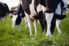 Holstein cow grazing pasture grass.