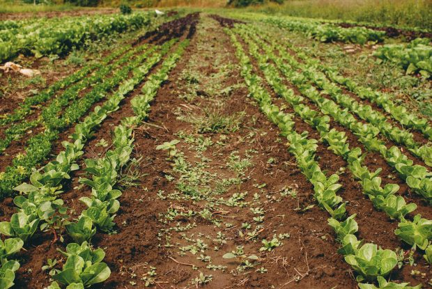 A field with rows of lettuce greens.