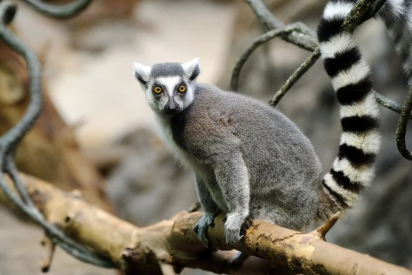 Ring-Tailed Lemur Populations Have Crashed by 95 Percent - Scientific  American Blog Network