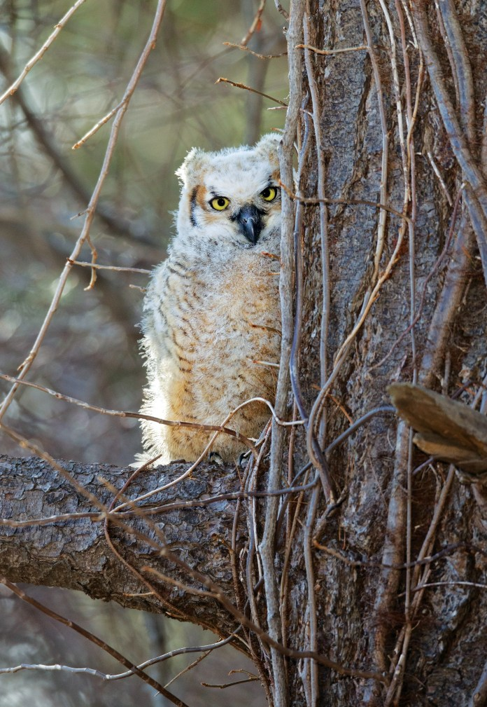 Great-horned owl staring at camera.