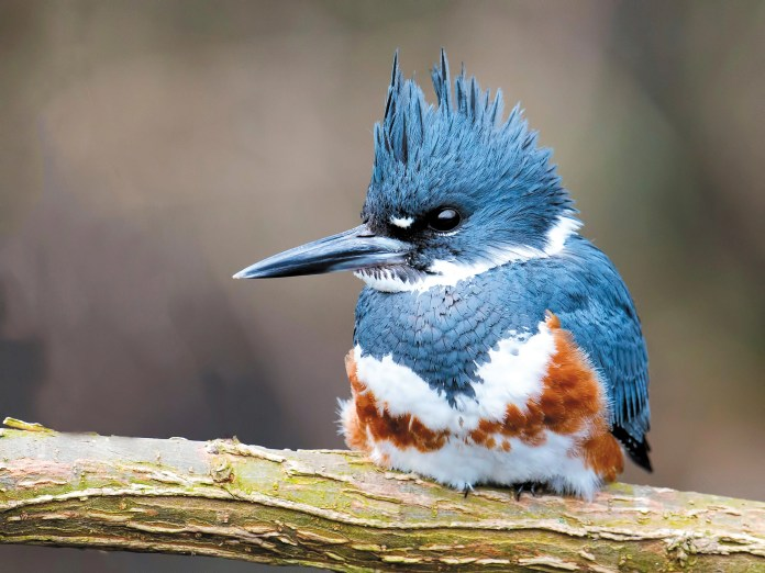 Belted Kingfisher,