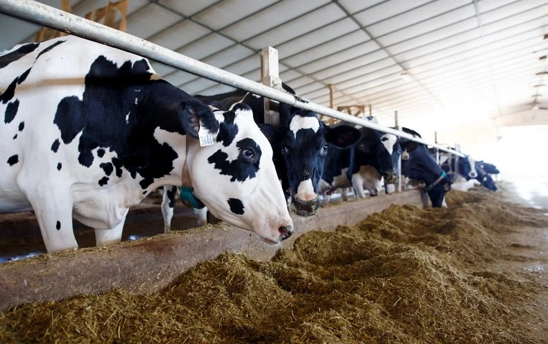 From Two Bulls, Nine Million Dairy Cows - Scientific American