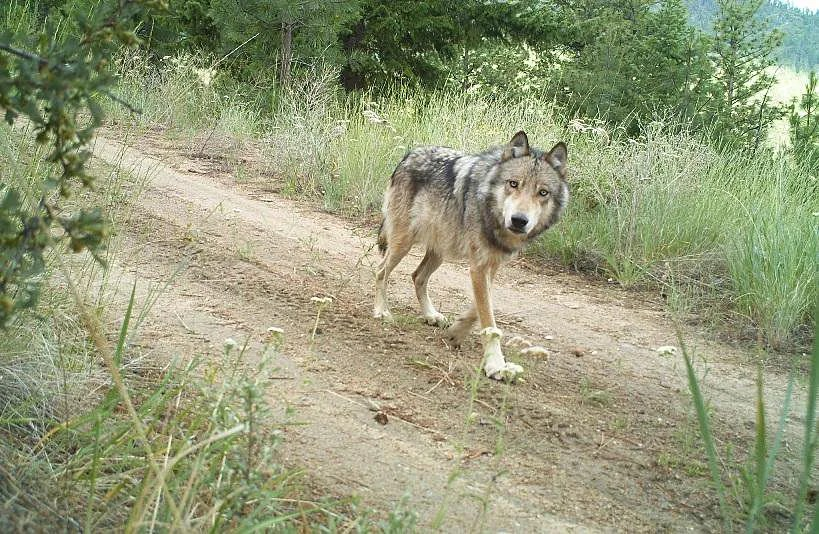 A gray wolf, from the Lookout Pack, traveling on an old forest road in the Methow Valley in the spring of 2014 Washington. (Conservation Northwest/Wa Dept of Fish & Wildlife)
