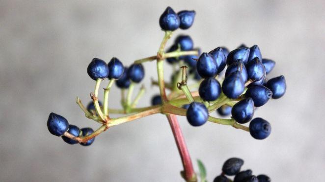 Viburnum tinus meyvesi-00