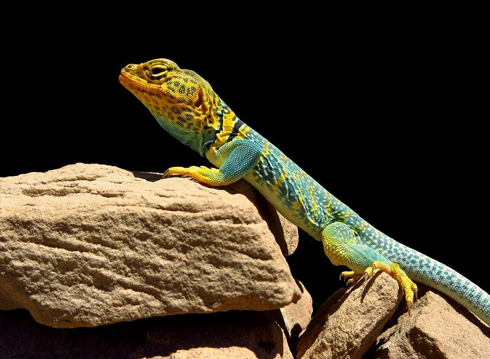 도마뱀, 파충류, 세로, 동물의 세계, 자연, 야생, 화려한, 수평, 무료로, 스톤