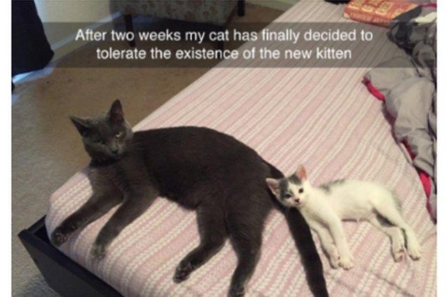 Kitten cuddling with annoyed adulcat