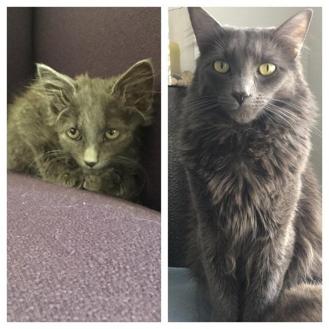 Side by side photos of cat as a kitten and as an adult.