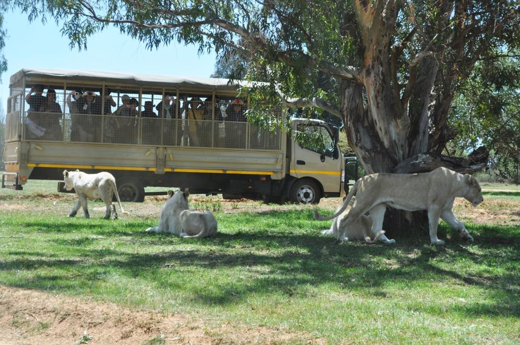 The Lion Park. Captive lions viewed by captive tourists.