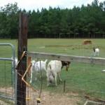 goat-giant-balls