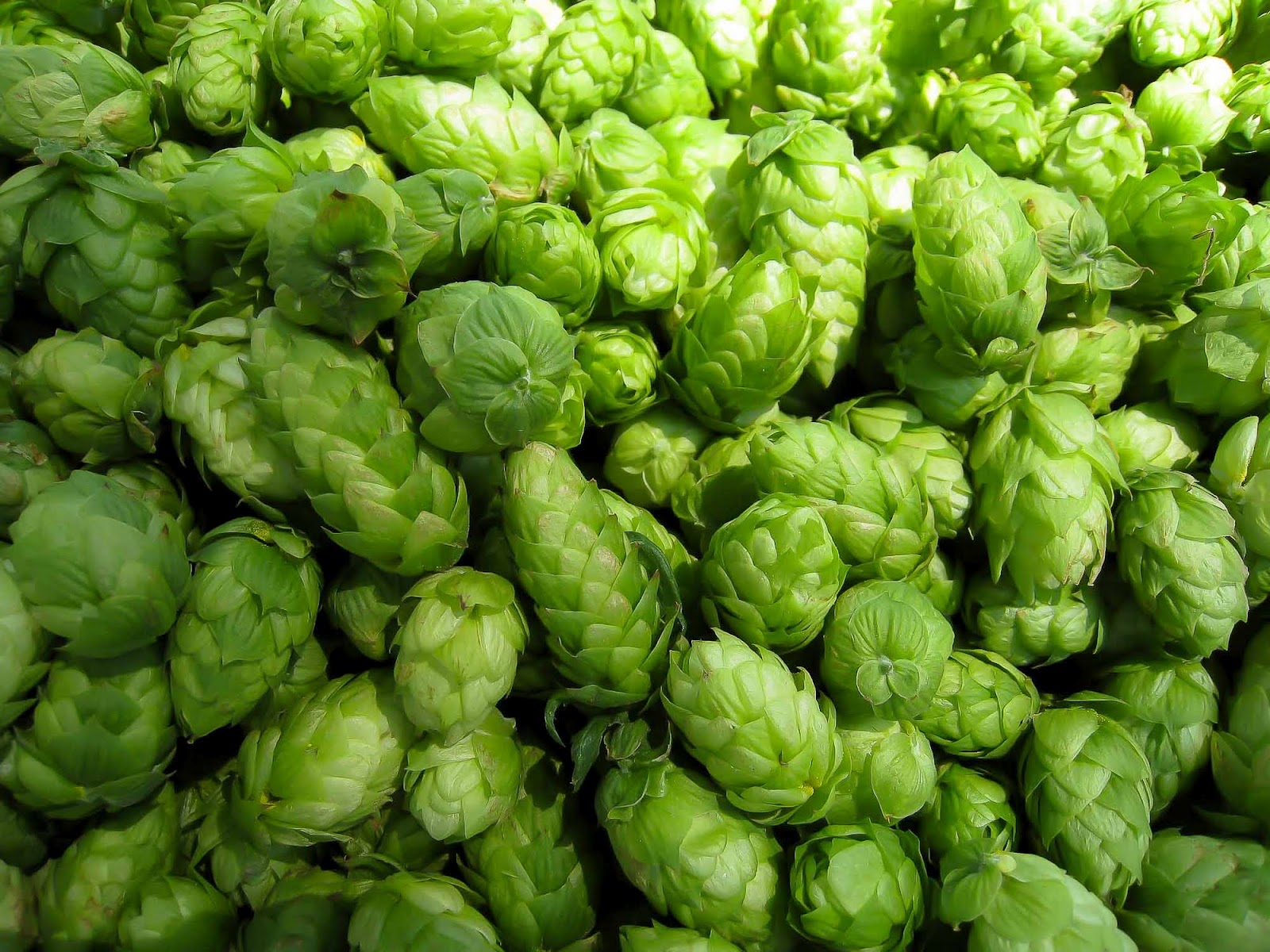how to grow hops for profit