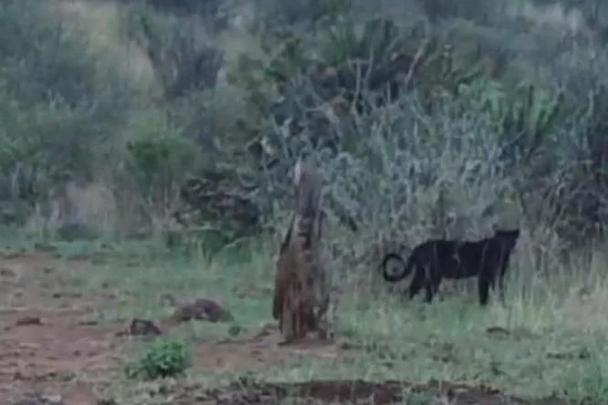 blackleopard1202 Researchers discover incredibly rare black leopards in Kenya