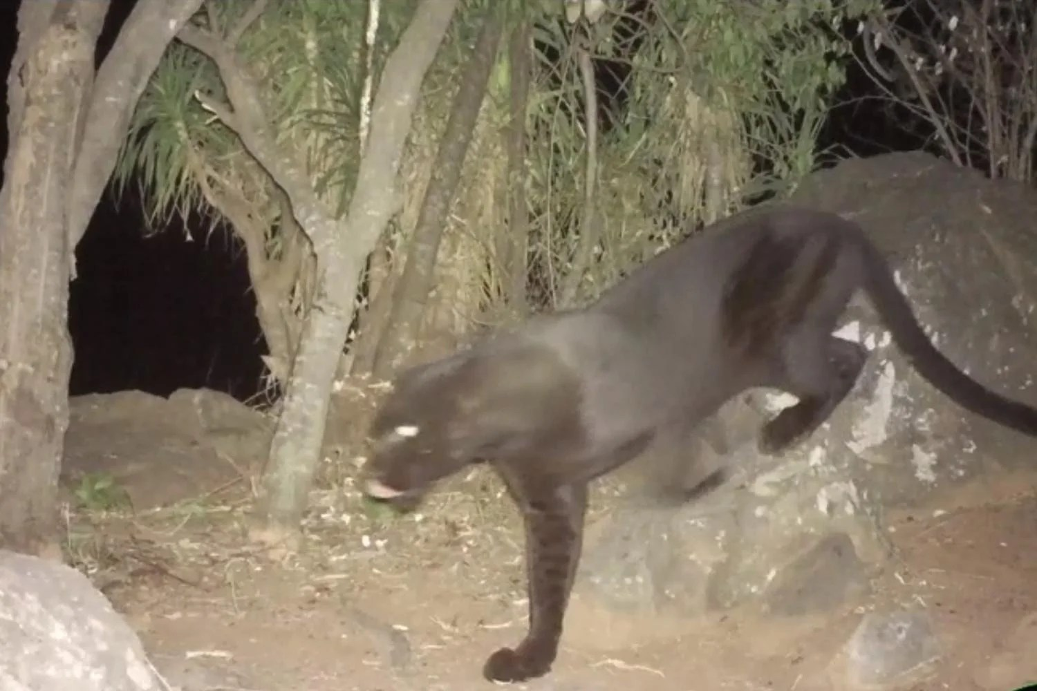 leopard Researchers discover incredibly rare black leopards in Kenya