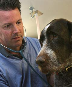 WOOF: Ian Ross at the After Hours Veterinary Clinic inspects Harry, a German wire-haired pointer, who retains his voice. STACEY SQUIRES/The Press