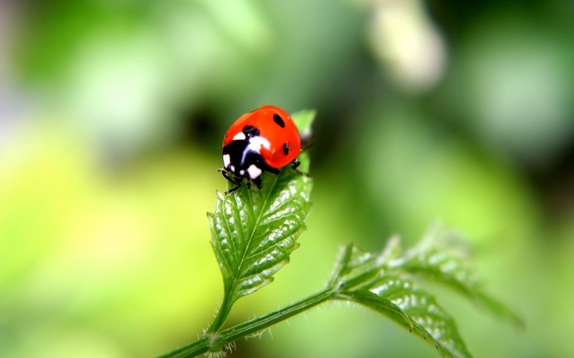 beautiful ladybug on a green plant - hd macro wallpaper