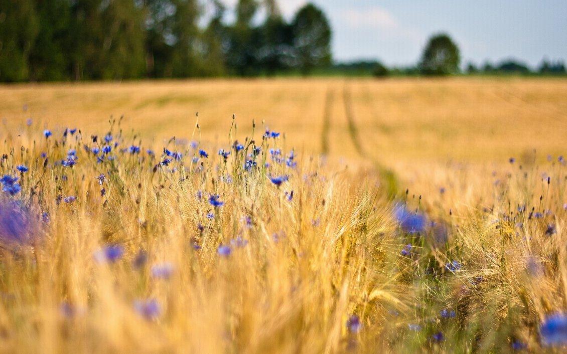 Macro Blue Flowers In The Wheat Field HD Wallpaper
