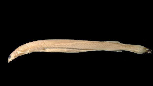 En los años 90 este pez se convirtió en una leyenda urbana con la historia de un hombre que descubrió este animal en su uretra.