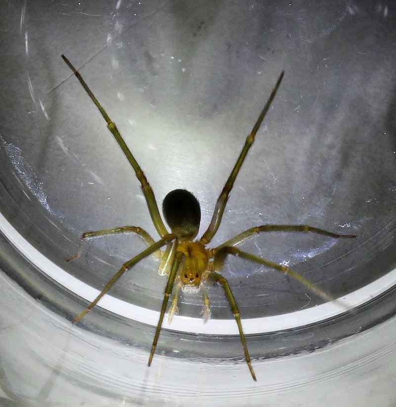 Araña de rincón (Loxosceles laeta)
