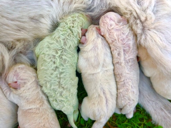 Pistachio: el cachorro verde que nació en Italia | Tele 13
