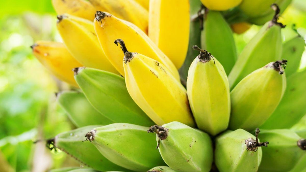 cosechar banano sin usar tierra
