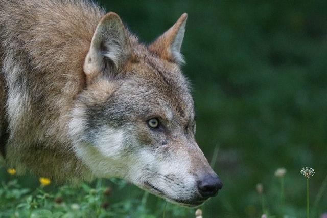 Un Hybride Loup Chien présent dans les Pyrénées