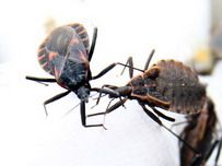 Dont Get Bitten By The Kissing Bug Scientists Warn
