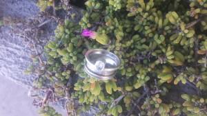 Cat's ring