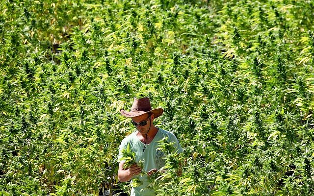 A worker tends to cannabis plants at a growing facility for the Tikun Olam company near the northern city of Safed August 31, 2010. (Abir Sultan/Flash 90)