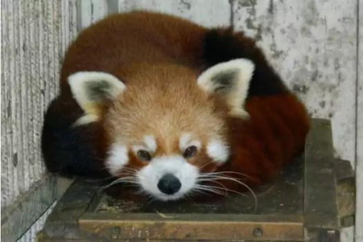 India counters China on red pandas; DNA finds Himalayan and Chinese sub-species exist here   India News 2