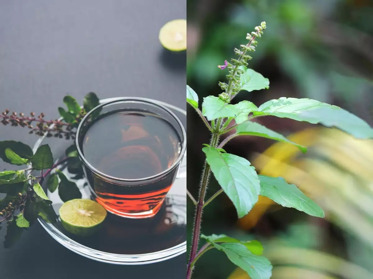 Weight loss: How to make Tulsi tea for weight loss - Times of India