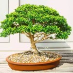 Bonsai Plants A Fascinating Sculptural Plant For Your Garden Most Searched Products Times Of India