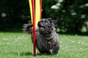 tapis de course pour chien comment et