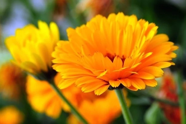 Resultado de imagem para flor Calêndula