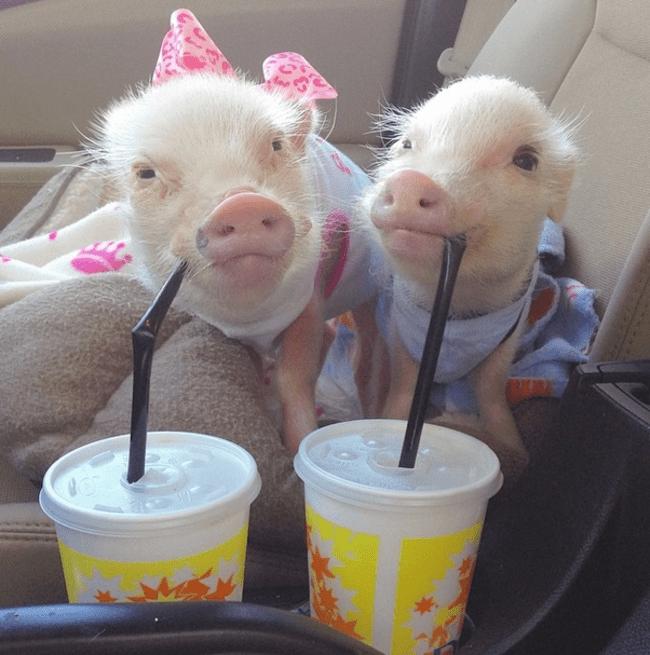 Resultado de imagem para porcos