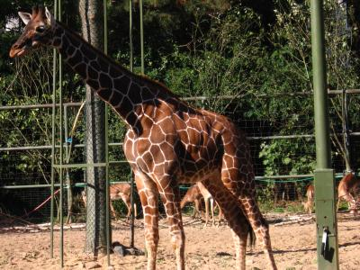 Giraffa camelopardalis (im Kölner Zoo)