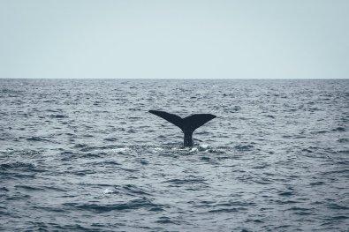 Fauna auf den Azoren