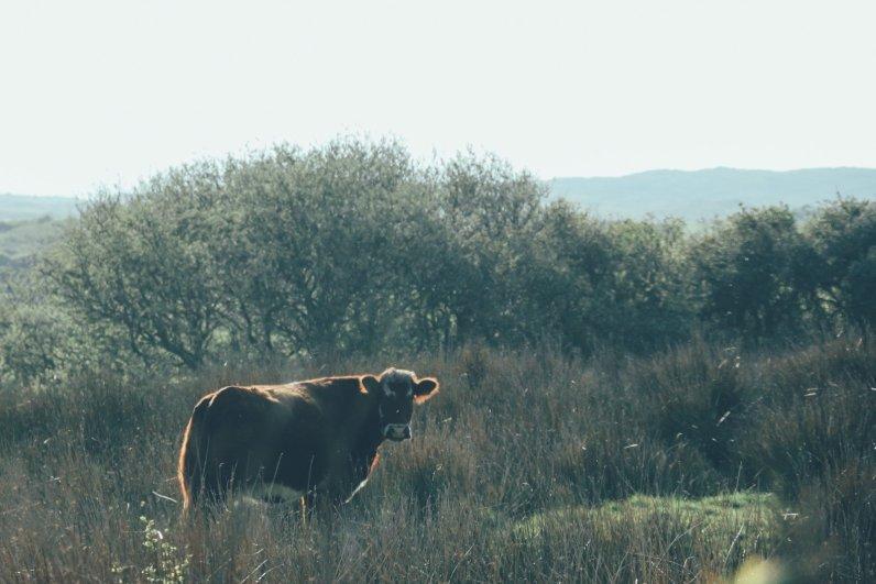 Freiheit und sattes Grün: So gedeiht irischen Rind